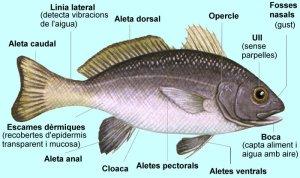 peixmorfocatala